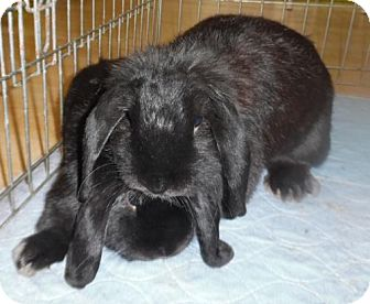 Lop-Eared for adoption in Newport, Kentucky - Ollie and Olivia