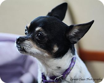 Chihuahua Dog for adoption in Oak Ridge, New Jersey - Mindy