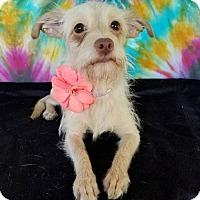 Terrier (Unknown Type, Medium) Mix Dog for adoption in San Antonio, Texas - Harper