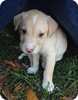 Labrador Retriever Mix Puppy for adoption in Gainesville, Florida - Owen