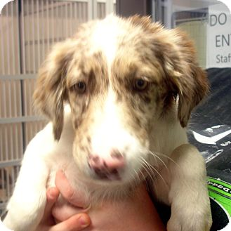 Australian Shepherd Mix Puppy for adoption in baltimore, Maryland - Passion