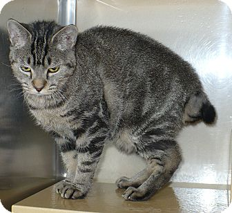 Manx Cat for adoption in Pueblo West, Colorado - Sable