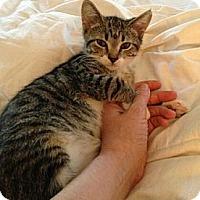 Adopt A Pet :: Courtney - Reston, VA