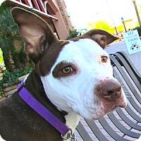 Adopt A Pet :: Carmella - Gilbert, AZ