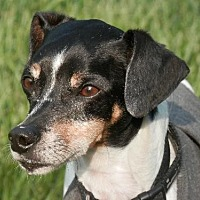 Rat Terrier/Whippet Mix Dog for adoption in Lake Charles, Louisiana - Riley