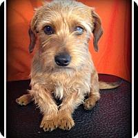 Adopt A Pet :: Lil' Bit - Indian Trail, NC