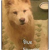 Adopt A Pet :: Blue - Dix Hills, NY