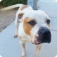 American Bulldog Mix Dog for adoption in Las Vegas, Nevada - Bobby