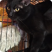 Siamese Cat for adoption in Vass, North Carolina - Luva Boy
