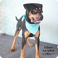 Adopt A Pet :: ETHAN - Conroe, TX