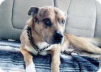 Cattle Dog/American Bulldog Mix Dog for adoption in Smithfield, North Carolina - Freckles