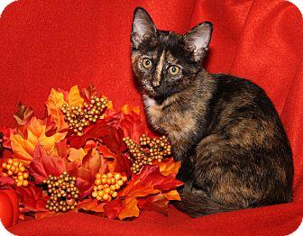 Domestic Shorthair Kitten for adoption in Marietta, Ohio - Hannah