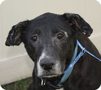 Labrador Retriever/German Shepherd Dog Mix Dog for adoption in Jackson, Michigan - Missy