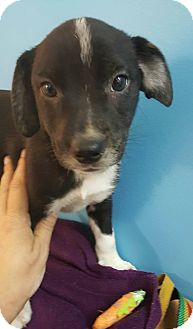 Australian Cattle Dog/Chihuahua Mix Puppy for adoption in Glastonbury, Connecticut - Alvin~adopted!