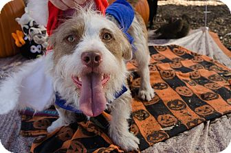 Terrier (Unknown Type, Medium) Mix Dog for adoption in Phoenix, Arizona - MR. WOODMAN