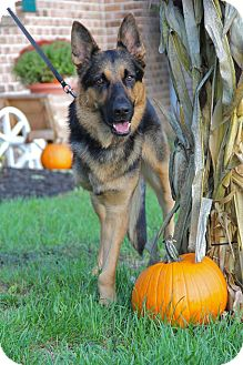 German Shepherd Dog Mix Dog for adoption in New Oxford, Pennsylvania - Ryker Baby