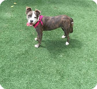 Australian Shepherd Mix Dog for adoption in Atlanta, Georgia - Zoe