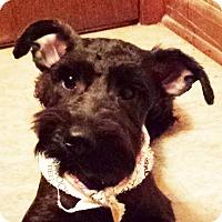 Adopt A Pet :: Ozzie AD 12-03-16 - Preston, CT