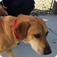 Basset Hound/Labrador Retriever Mix Dog for adoption in Willows, California - Butters