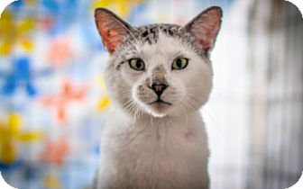 Domestic Shorthair Cat for adoption in Vancouver, British Columbia - Colby