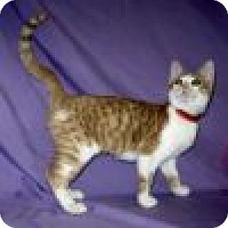 Domestic Shorthair Cat for adoption in Powell, Ohio - Autumn