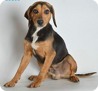 Beagle/Hound (Unknown Type) Mix Dog for adoption in Lexington, Massachusetts - Toby