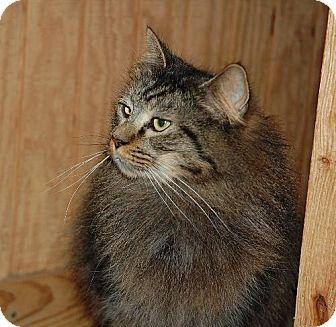 Maine Coon Cat for adoption in Alpharetta, Georgia - Trace