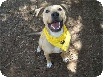 Labrador Retriever/American Pit Bull Terrier Mix Dog for adoption in Phoenix, Arizona - Buster