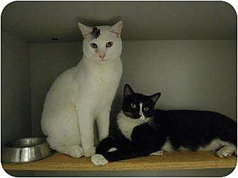 American Curl Cat for adoption in New York, New York - Fluffy