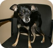 Chihuahua Dog for adoption in Conway, Arkansas - Tia