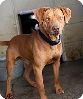 Red Nose Pitbull Bullmastiff Mix | www.pixshark.com ...