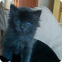 Adopt A Pet :: Opal (bottle baby) - Sterling Hgts, MI