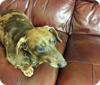 Dachshund Dog for adoption in Weston, Florida - Duncan