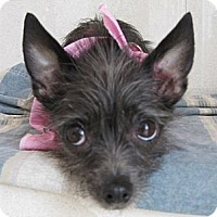 Terrier (Unknown Type, Small)/Chihuahua Mix Dog for adoption in LA, OC, SD, California - Fran, Loving Cuddlebug