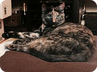 Domestic Mediumhair Cat for adoption in Queens, New York - Paisley