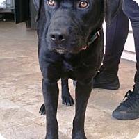 Adopt A Pet :: Brick - Chicago, IL