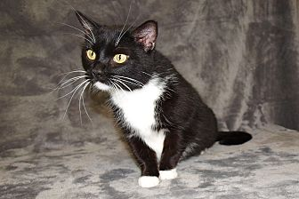 Domestic Mediumhair Cat for adoption in Jackson, Mississippi - Becca