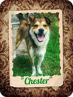 Sheltie, Shetland Sheepdog/Husky Mix Dog for adoption in Seaford, Delaware - Chester