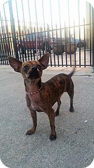 Chihuahua Dog for adoption in Houston, Texas - Bingo