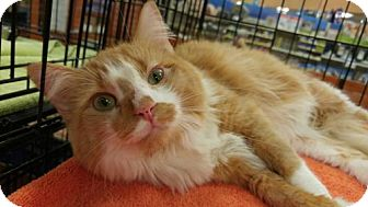 Maine Coon Cat for adoption in Powder Springs, Georgia - DOLLY