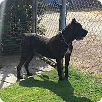 Cane Corso Dog for adoption in Yucaipa, California - Abby