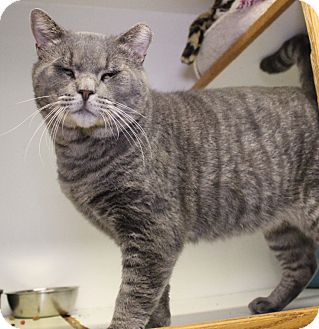Domestic Shorthair Cat for adoption in Middletown, Connecticut - Moses