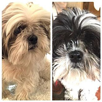 Shih Tzu Dog for adoption in Santa Monica, California - Peanut & Sassy (Bonded Pair)