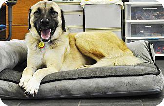 Anatolian Shepherd Mix Dog for adoption in Woodburn, Oregon - Finn