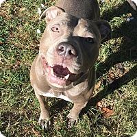 Staffordshire Bull Terrier Mix Dog for adoption in Boston, Massachusetts - Hazel