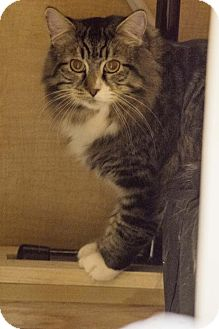 Maine Coon Cat for adoption in Herndon, Virginia - Junior (& Mocha)