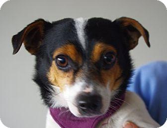 Rat Terrier Mix Dog for adoption in Longview, Washington - Teddy