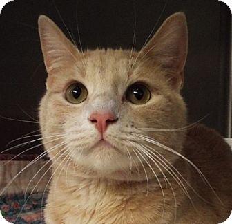 Domestic Shorthair Cat for adoption in Grants Pass, Oregon - Tango