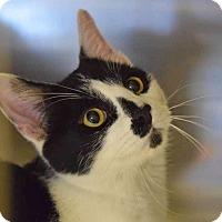 Adopt A Pet :: Domino - Sierra Vista, AZ