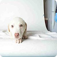 Adopt A Pet :: MAGGIE - Ukiah, CA